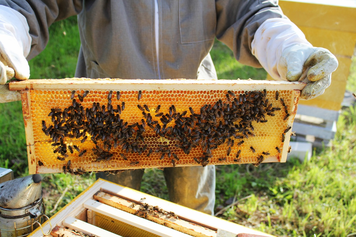 Beekeeper holding a honeycomb with bees