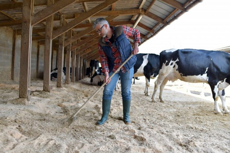 cleaning shed for cows