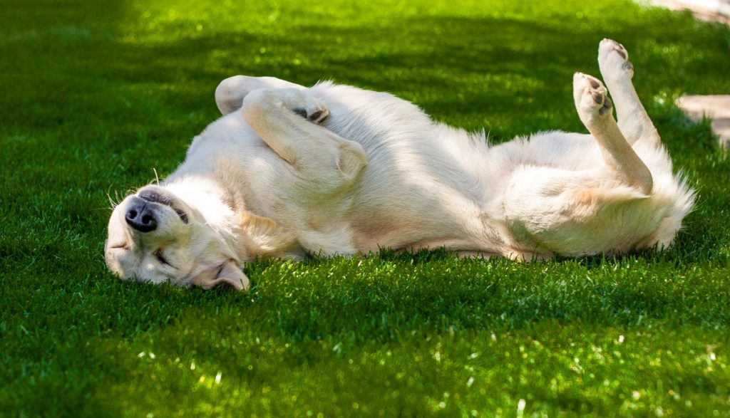 dog laying on the grass