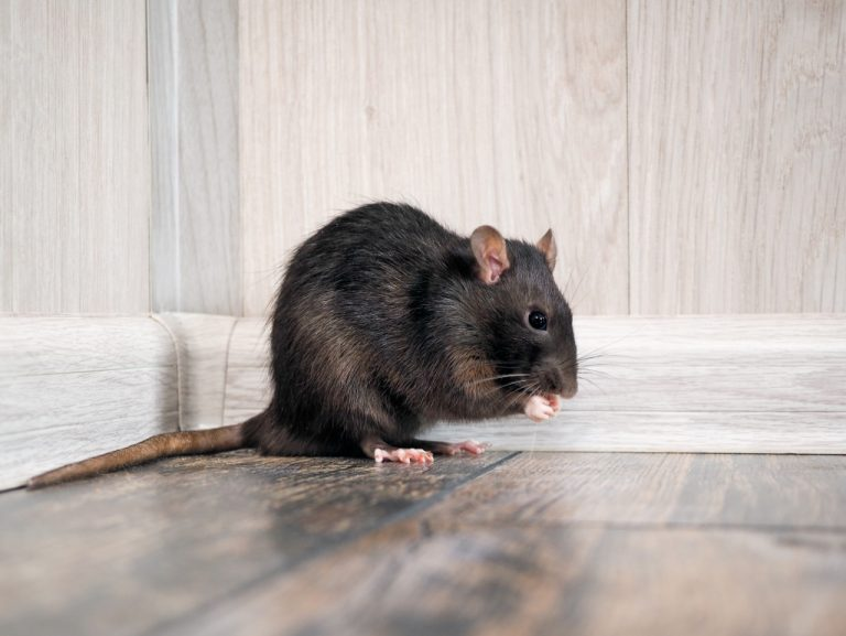 rat rodent concept