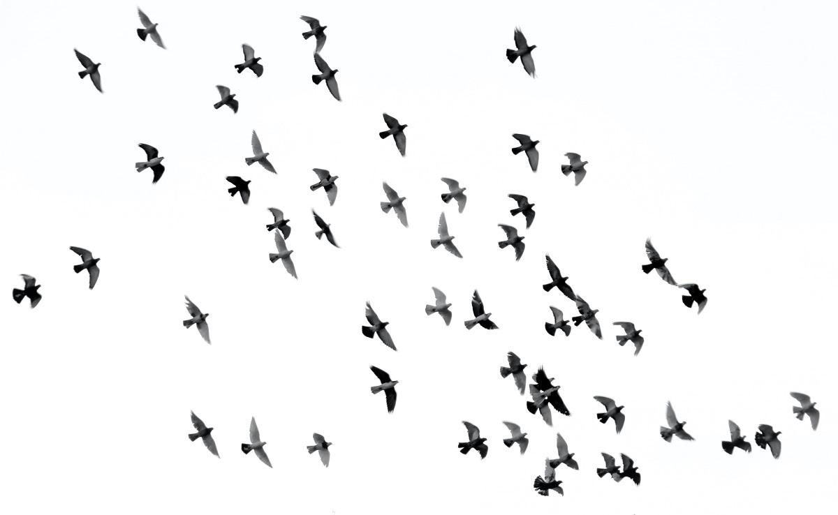 flying birds concept